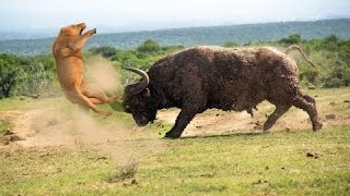 Buffalo vs Lion Fight, Buffalo Wins