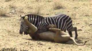 Zebra vs Lion - Zebra Wins Lion in the Battle