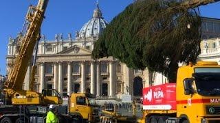 Vatican Christmas Tree Arrives