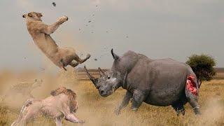 Epic Battle Between RHINO vs LIONS