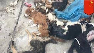 Animal cruelty: Dogs left for dead on rooftop after experiments at Chinese University
