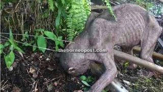 Strange Creature Found by Plantation Workers in Sarawak