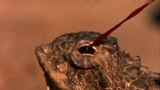 World's Weirdest - Blood-Squirting Lizard