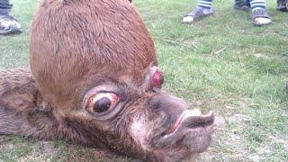 Strangest Animal 2015 Unidentified Creature | Unknown Creature