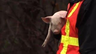 Piglets Escape When Truck Overturns
