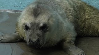 Gray Seal Pup Makes Debut In Illinois Zoo
