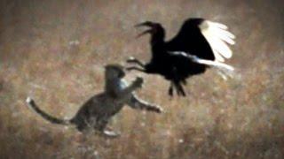 Leopard Vs Bird: Hornbill Dramatically Escapes Jumping Cat's Clutches