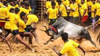 Modi Govt gives nod to Jallikattu, AIWB to challenge order