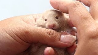 Funny Hamster Video Compilation 2015 - Hamster Fails - Funny Hamster Sleeping