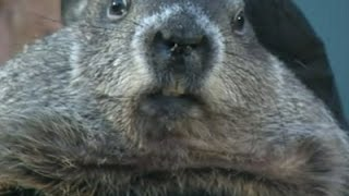No Shadow: Pa. Groundhog 'Predicts' Early Spring