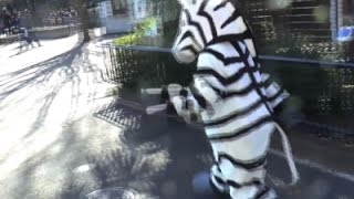 Japan Zoo Holds Escaped Zebra Drill