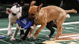 Chicks, Skunk Part of New 'Puppy Bowl' Lineup