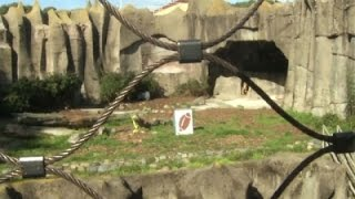 At Zoo, Lioness Picks Panthers in Super Bowl