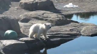 Polar Bear Cub, Nora, Makes Debut at Ohio Zoo