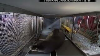 Endangered Seals Start Journey Home After Rehab