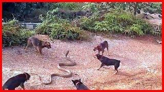 Wild animals fight to death - CRAZIEST Animal Fights Caught  - Dog vs Cobra Snake 2