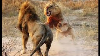 Male Lions Fights 2016,lion vs lion real fight to death
