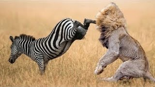 Zebra attack and kill lion- lion severely injured on zebra attack