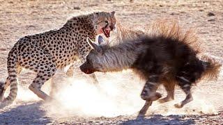 Cheetah Vs Hyena Real Fight - Amazing Videos