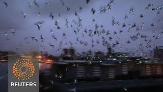 LED-lit pigeons illuminate NY skies in art exhibit