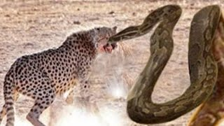 Giant Anaconda vs Lion vs Tiger Great Python vs Lion Real Fight