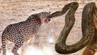 Giant Anaconda vs Lion vs Tiger Great Python vs Lion Real Fight