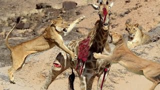 Most Amazing Wild Animal Attacks 7 - Craziest Animal Fights Caught On Camera