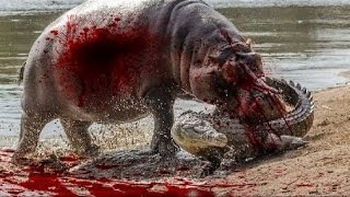 Crocodile Attack Wildebeest - Crocodile Attack Zebra - Amazing Wild Animal Attacks DAL