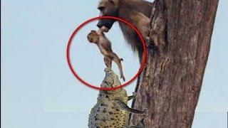 Crocodile attack baboon, poor baby monkey killed - Attack crocodile vs deer