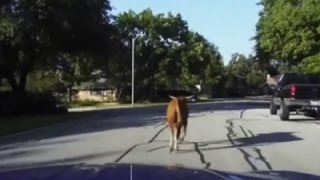 Slow Chase Nets Calm Bull