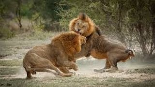 Lion vs Lion Most dangerous fight