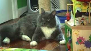 New York Considers Ban On Declawing Cats