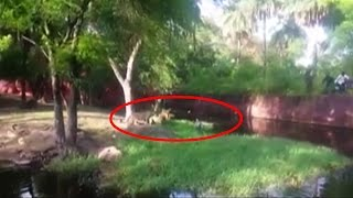 On Cam: Drunk man jumps into lion's cage