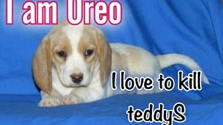 OREO the beagle  kills everything which is cuter then him - All Time Matargashti