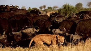 Lion vs Buffalo - Lion vs Buffalo Real Fight (Dangerous Battle)