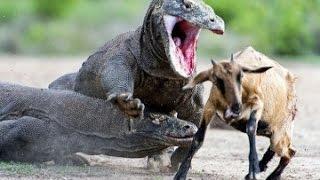 Wild Animal Attacks - Komodo Attacks Chicken, Eating Deer, Monkey - Animals Attack