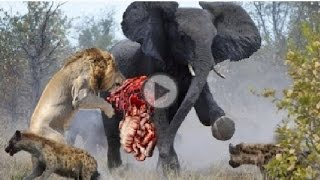 Most Amazing Wild Animal Attacks 10 - python, lopard,Crocodile, Lion, Elephant -Animal Fights