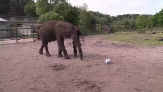 Raw: Psychic Elephant Predicts Win for Germany