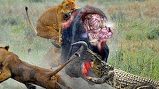 Top 12 Most Amazing Wild Animal Attacks  Giant Anaconda attacks Human Real Caught on Camera wild