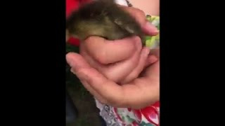 Raw: Ducklings' Daring Jump From NJ Roof
