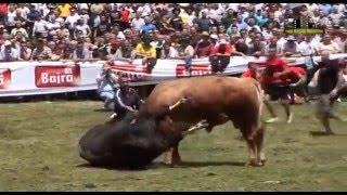 Cruel Bull vs Bull Fights