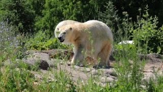 Raw: Elderly Polar Bear Finds New Home in Mich.