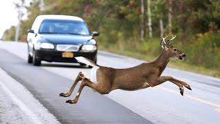 ANIMAL CAR CRASHES - UGLIEST Animal Car Crashes