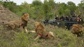 Male Lions Kills Male Lion Wild Animals Fight To The Death