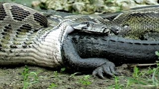 Biggest Python vs Crocodile - Giant anaconda - World's biggest python snake found in Amazon river