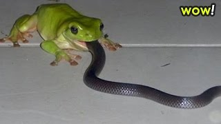 Giant Frog EATS Snake REAL 2 Most Amazing Wild Animal Attacks - Craziest Animal Fights