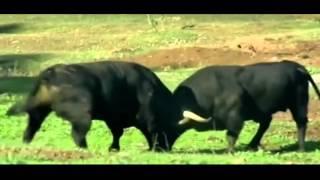 Bull Vs Bull Toro Bravo ,Animal Fight Club