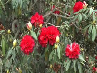 बुरांस फूलों के मनमोहक नजारे पर्यटकों के लिए बने आकर्षण