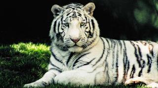 40 साल बाद सफेद बाघ की घर वापसी