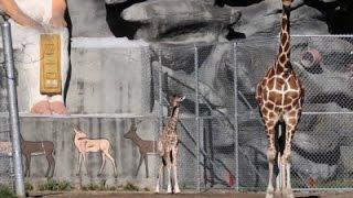 Raw: New Giraffe Stands Over Five Feet Tall